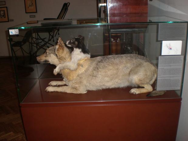 riguarda il cane a due teste di Vladimir Petrovich Demikhov, museo della medicina