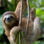 Incontro con bradipo in costarica