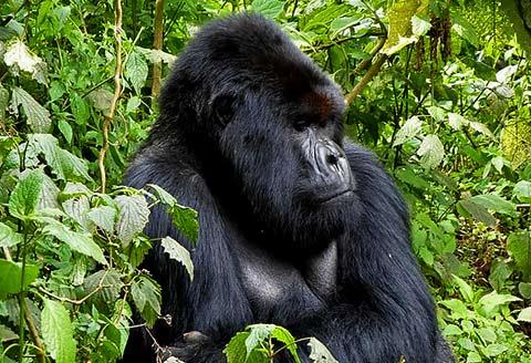 Incontro con i Gorilla in Ruanda - di Fausto Toccaceli