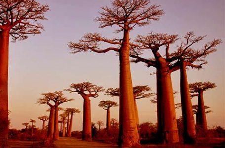 Baobab in Madagascar