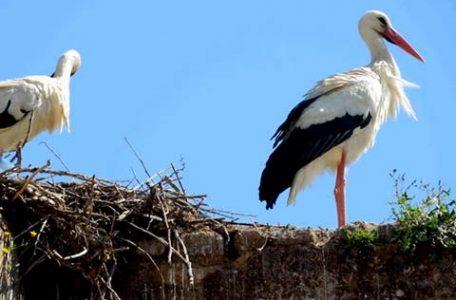Cicogne in Marocco - Foto Eno Santecchia