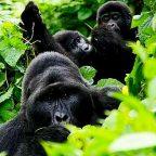 Uganda - Gorilla nella foresta impenetrabile di Bwindi - Foto di Chiara