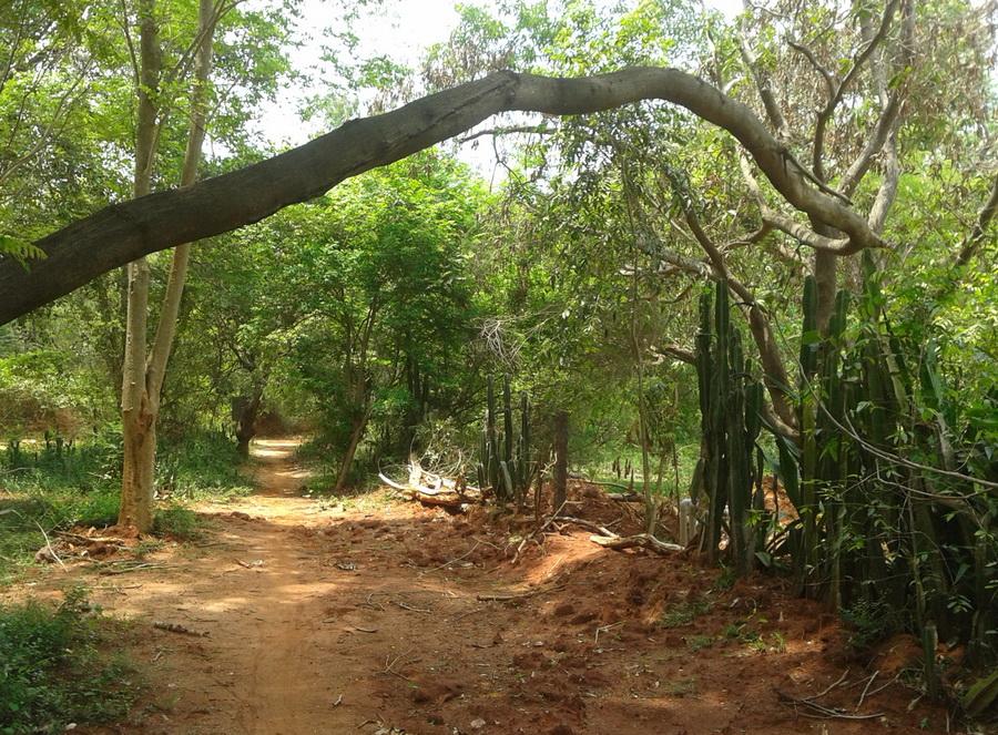 Auroville - gli alberi crescono così non è un ramo è un albero