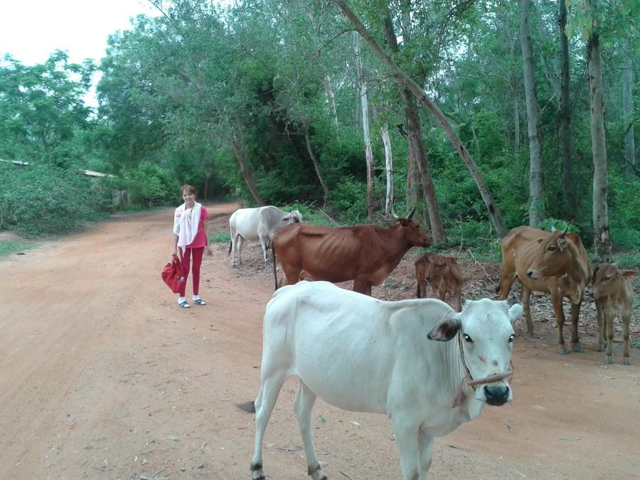 Auroville - verso la foresta mucche al pascolo
