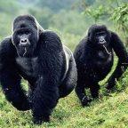 Viaggio in Congo fra i Gorilla