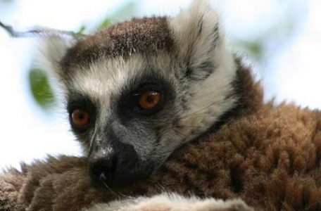 Madagascar - Lemure - FOTO DI MIRKA