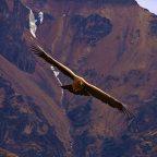 Peru' - Un' aquila in volo al Canyon del Colca