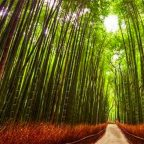 Giappone - Kyoto - La foresta di bambu di Arashiyama