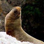 Peru - Leone Marino alle Isole Ballestas